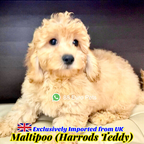 [SOLD] Maltipoo for Sale 88 Euro Pets Call 81352277 (UK Imports)