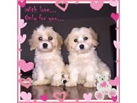 Gorgeous cavachon puppies
