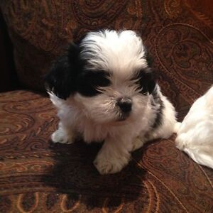 Maltese and shitzu mixed puppy for sale