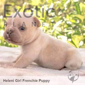 Female French Bulldog Puppies Nelson Bay Port Stephens Area Preview