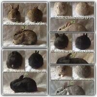 Dwarf Bunnies for Sale