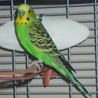 BUDGIE and large Premium cage,and acces. - Price Reduced -again!