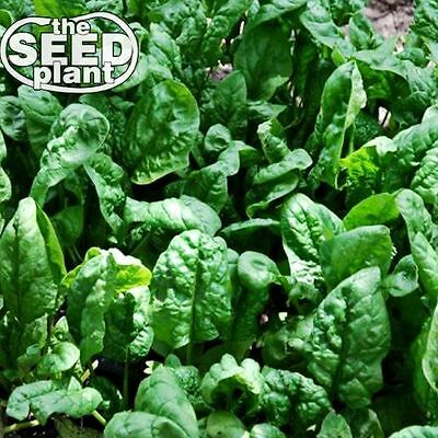 Giant Noble Spinach Seeds - 50 SEEDS-SAME DAY SHIPPING