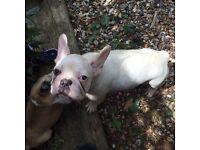White cream full breed French bulldog