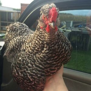Silkie Barred rock cross rooster