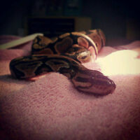 Normal Morph Ball Python