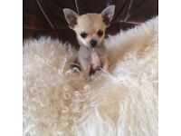 Chihuahua puppies looking for loving home