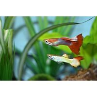 Three male guppies for sale