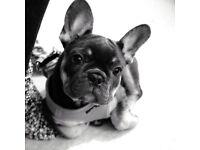 French Bulldog for SALE ~ BLUE / TAN