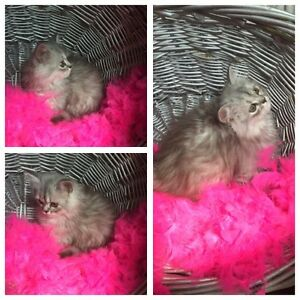 RARE CHAMPION BLOODLINE PERSIAN & HIMALAYAN KITTENS AVAILABLE!!!