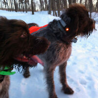 WIREHAIRED POINTING GRIFFON female, beautiful spirit. HUNTERS