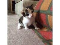 Beautiful female torti kitten