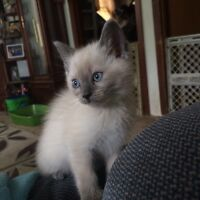 Siamese/Himalayan kittens forsale!