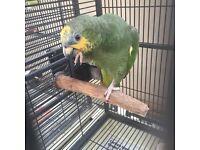 Missing Amazon Parrot Metu