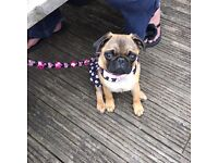 Beautiful Kc Reg Apricot Pug