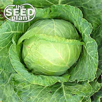 Copenhagen Cabbage Seeds -250 SEEDS NON-GMO
