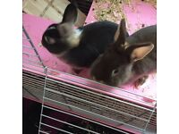 2 Netherland Dwarf Rabbits with double indoor rabbit cage