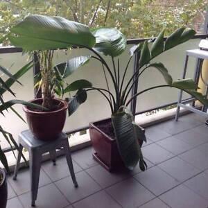 Giant bird of paradise plant Alexandria Inner Sydney Preview