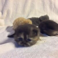 Teacup Exotic short haired Persian kitten