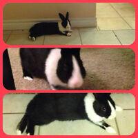 1 year old Dwarf Rabbit needs a home ASAP