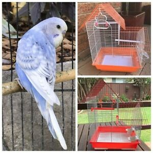 Cobalt violet opaline spangle baby budgie & new cages Kellyville The Hills District Preview