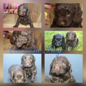 Absolutely stunning litter of Cockapoo puppies PRA clear