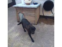 Black Labrador free to good home