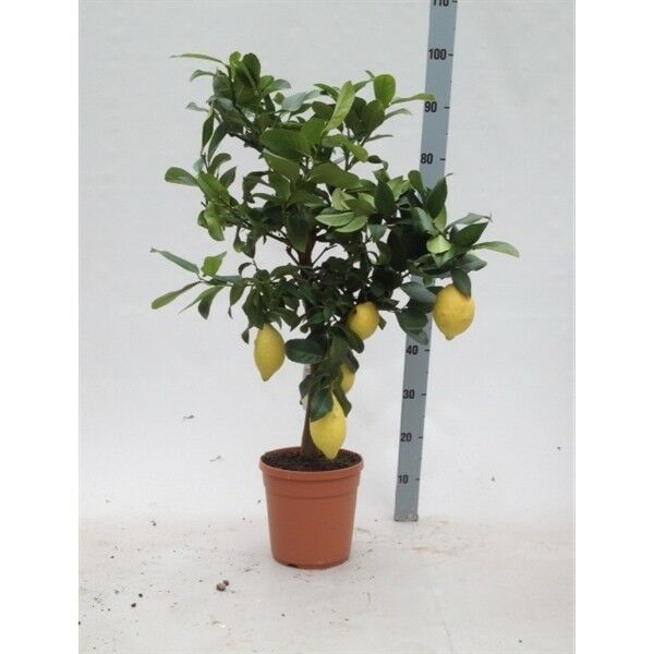 Citrus limon - Echter Zitronenbaum - 80-100 cm mit 2-5 Früchten Zitrus