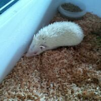 young hedge hog