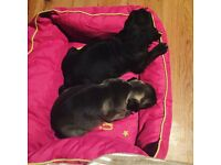 Black/silver pug pup