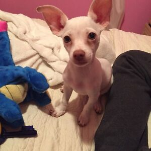 Chihuahua For Sale (Male)