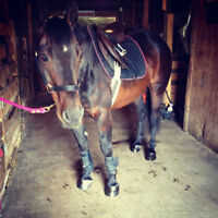 WANTED: A place to board an irresistably spunky QH gelding