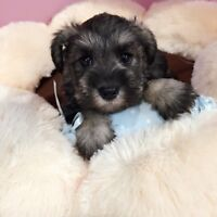 Beautiful Mini Schnauzer puppy for sale--only girl left