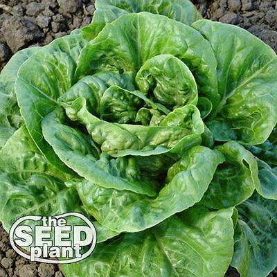 Bibb Lettuce Seeds - 1,000 SEEDS-SAME DAY SHIPPING