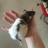 selling 2 female rats $15 for the pair
