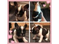 French Bulldog Puppies KC Reg