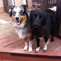 Australian Shepard and Border Collie cross puppies for sale