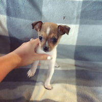 Tiny Toy Rat Terrier x Chihuahua Puppies!