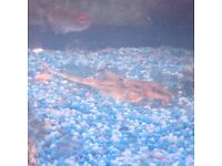 Whiptail catfish, tropical