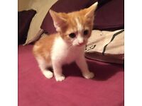 Female kitten ready now