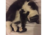 Grey and white cat needs a new home
