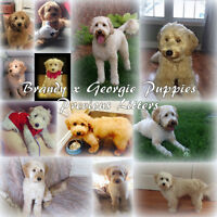 F1 Mini Labradoodle Puppies