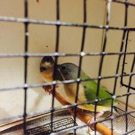 Gouldian finches x2 pairs