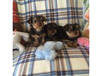Mini yorkie Yorkshire terrier puppies