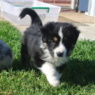 BORDER COLLIE PUPPIES REG WITH CCC QLD Ipswich City Preview