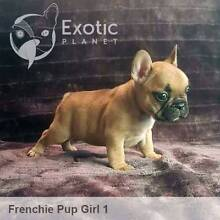 Female French Bulldog Puppy Nelson Bay Port Stephens Area Preview
