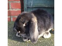 Stunning mini lop baby rabbit