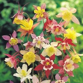 3 x AQUILEGIA PLANTS £5.00 (INCLUDING DELIVERY)