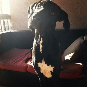Leonidas the Great Dane - adoption Oakville / Halton Region Toronto (GTA) image 2
