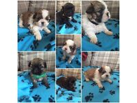 Beautiful Shih Tzu puppies